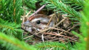 sparrow-nest
